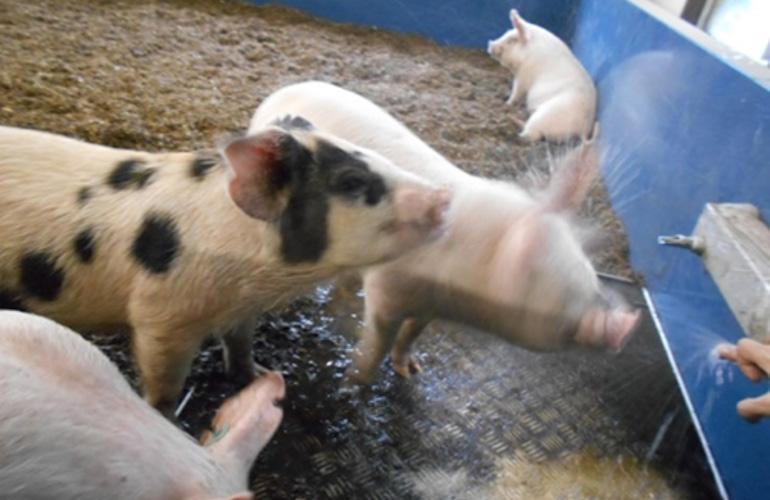 ダイポール水が養豚に及ぼす影響に関する研究画像