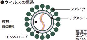 ウィルスの構造